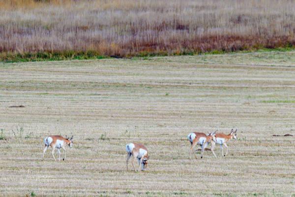 Photograph - Antelope 2 by Jim Thompson
