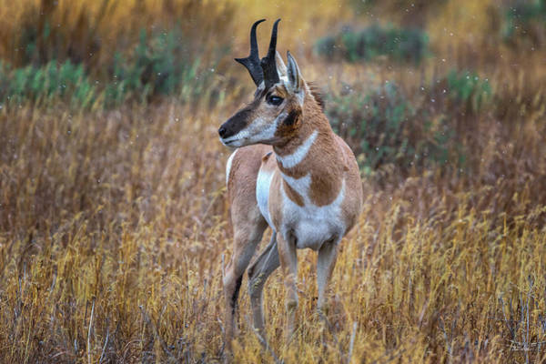 Photograph - Antelope Buck by Chris Steele