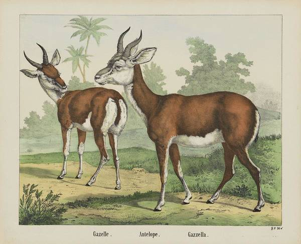 Black Buck Painting - Antelope.  Gazella, Firma Jos. Scholz, 1829 - 1880 by firma Jos Scholz