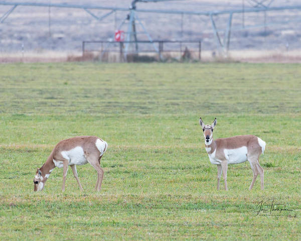 Photograph - Antelope In The Field by Jim Thompson