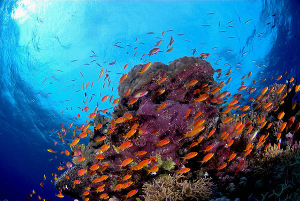 Pisces Photograph - Anthias Pseudoanthias Squamipinnis And by Oxford Scientific