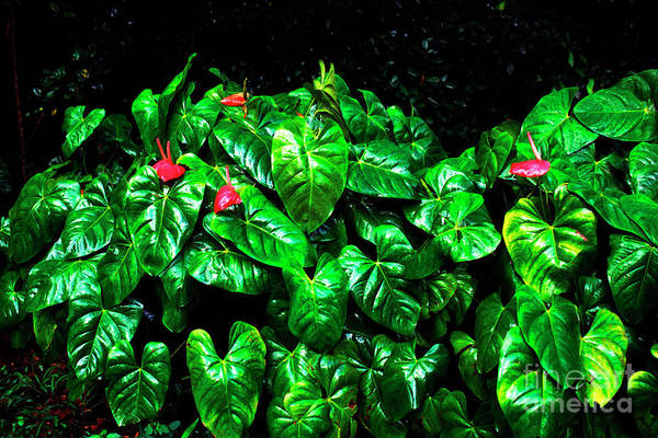 Photograph - Anthuriums In The Rain by Thomas R Fletcher