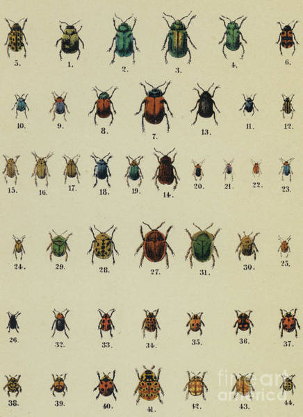 Wall Art - Drawing - Antique Insect Print by German School