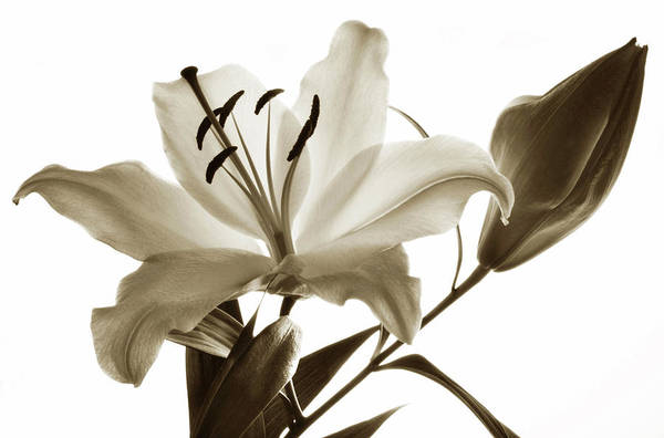 Wall Art - Photograph - Antique Lily by Terence Davis