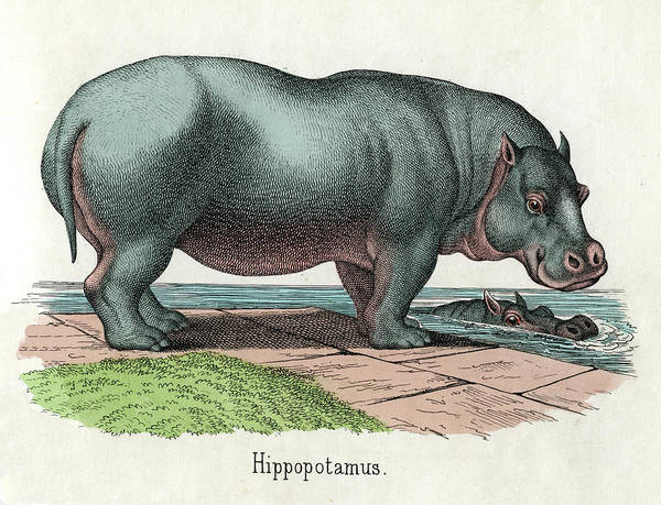 Photograph - Antique Print Of Hippopotamus by Graphicaartis