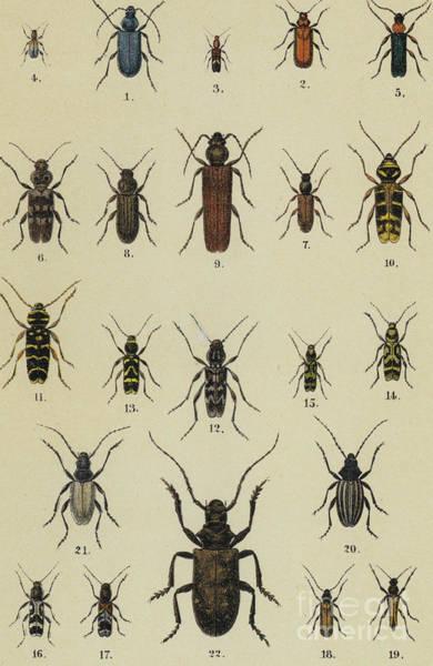 Wall Art - Drawing - Antique Print Of Various Beetles by German School