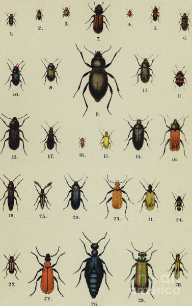 Wall Art - Drawing - Antique Print Of Various Types Of Beetle by German School