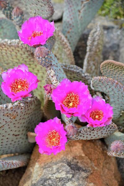 Photograph - Anza Borrego Cactus Bloom Portrait by Kyle Hanson