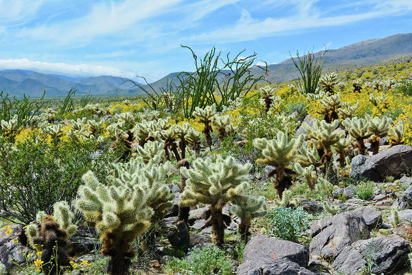 Photograph - Anza Borrego Cactus Trail by Kyle Hanson