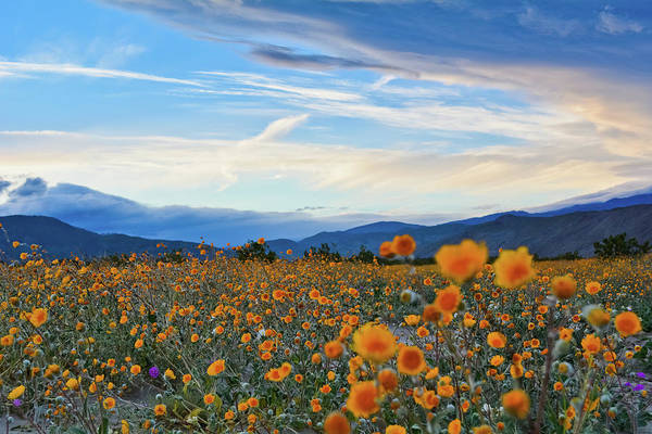 Photograph - Anza Borrego Desert Sunflower Sunset by Kyle Hanson