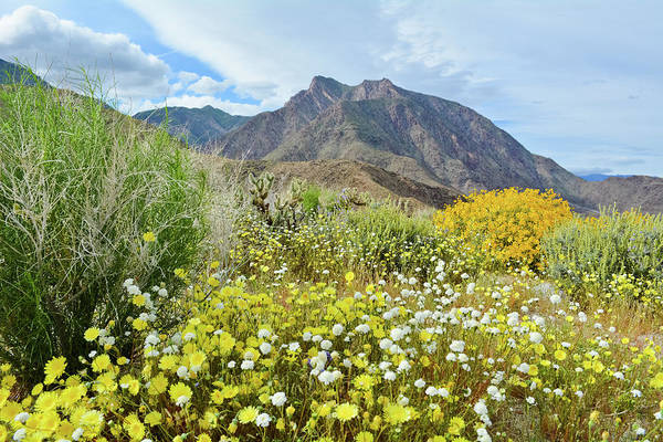 Photograph - Anza Borrego Mountain Wildflowers by Kyle Hanson