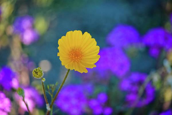 Photograph - Anza Borrego Wildflower by Kyle Hanson