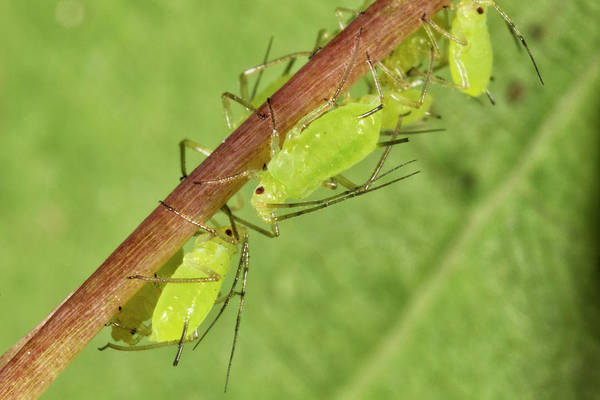 Photograph - Aphids by Rick Veldman