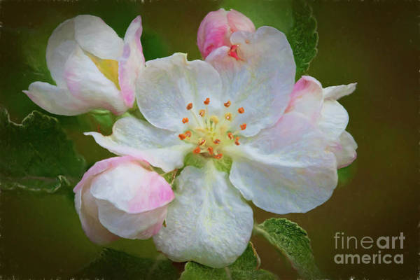 Wall Art - Digital Art - Apple Blossom 4387fstgti by Doug Berry
