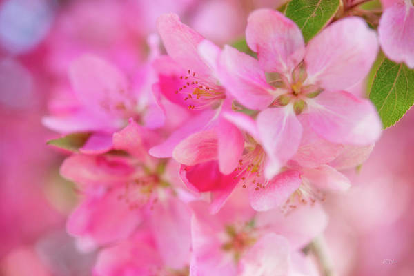 Photograph - Apple Blossom 5 by Leland D Howard