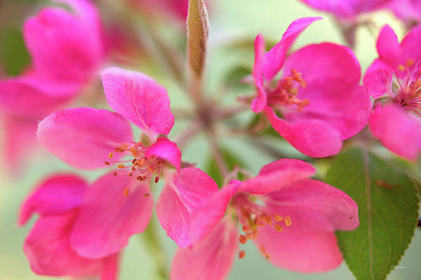 Photograph - Apple Blossom 6 by Leland D Howard
