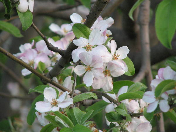 Photograph - Apple Blossom by Joan Stratton
