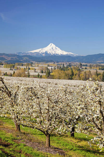 Mt Hood Photograph - Apple Blossom Trees And Mount Hood In by Design Pics / Craig Tuttle
