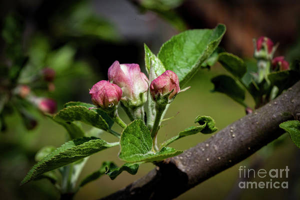 Wall Art - Photograph - Apple Blossoms 4291tb by Doug Berry