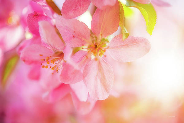 Wall Art - Photograph - Apple Blossoms Bright Glow by Leland D Howard