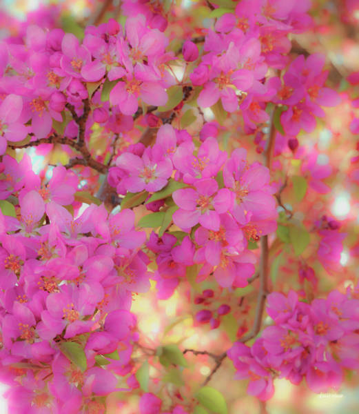 Photograph - Apple Blossoms C by Leland D Howard