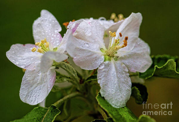 Wall Art - Photograph - Apple Blossoms In The Rain 4397t by Doug Berry