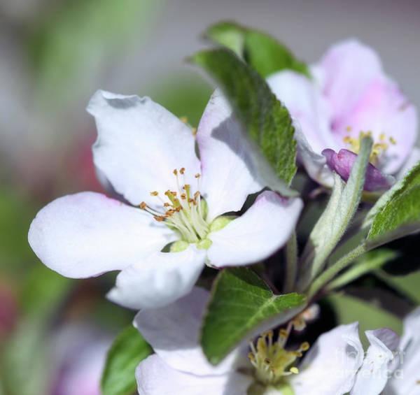 Photograph - Apple Blossoms by Kerri Farley