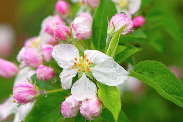 Photograph - Apple Blossoms With Raindrops by Sharon Talson