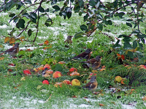 Photograph - Apple Feast For Fieldfares by Phil Banks