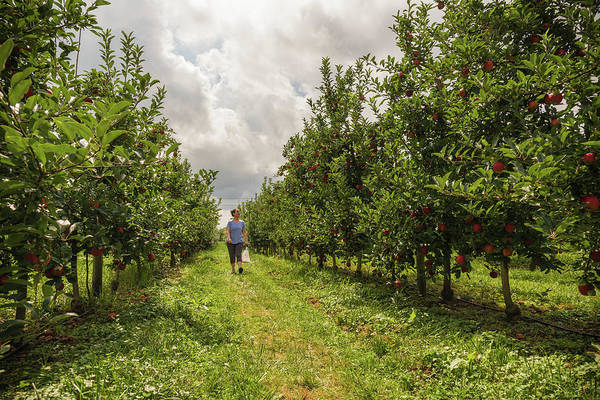 Photograph - Apple Picking by Kristopher Schoenleber