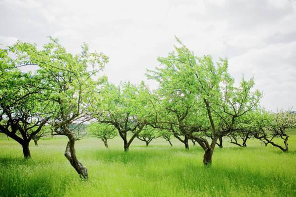 Photograph - Apple-trees Skane Sweden by Roine Magnusson