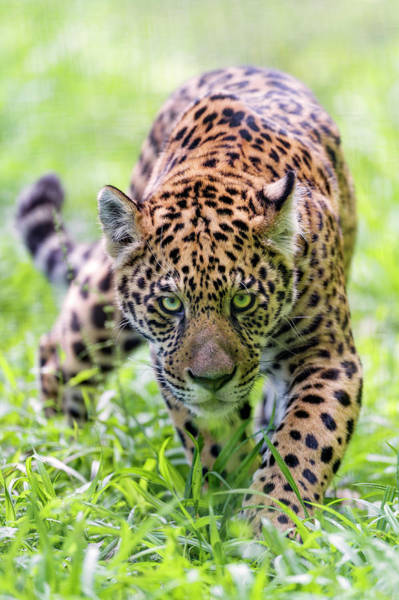 Wall Art - Photograph - Approaching Serious Jaguar by Picture By Tambako The Jaguar