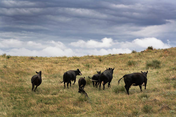 Domestic Cattle Photograph - Approaching Storm by Yinyang