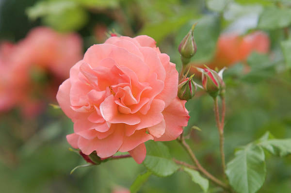 Photograph - Apricot Orange Rose Westerland 1 by Jenny Rainbow