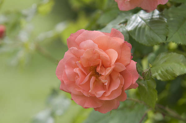 Photograph - Apricot Orange Rose Westerland 2 by Jenny Rainbow