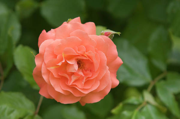 Photograph - Apricot Orange Rose Westerland by Jenny Rainbow