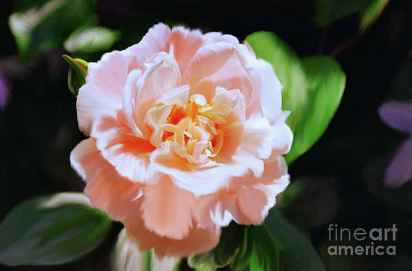 Wall Art - Photograph - Apricot Rose by Elaine Manley