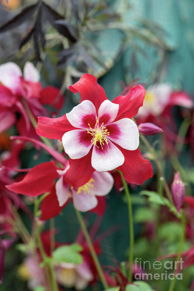 Swan Photograph - Aquilegia Swan Red And White Flower by Tim Gainey