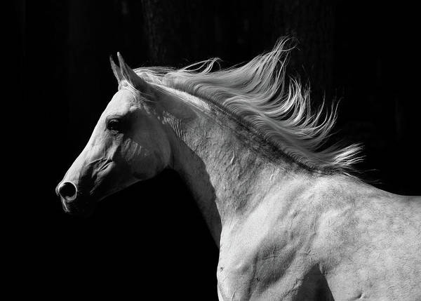 Domestic Animals Photograph - Arab Stallion by Photographs By Maria Itina