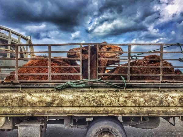 Photograph - Arabian Camels by Roberto Pagani