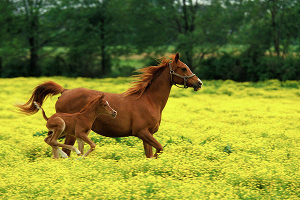 Mare Photograph - Arabian Foal And Mare Running Through by Danita Delimont