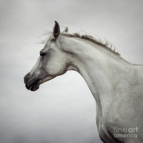 Photograph - Arabian Horse Portrait by Dimitar Hristov