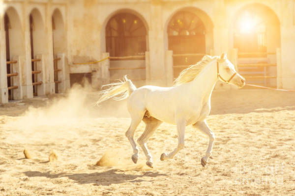 Photograph - Arabian Horse Running by Benny Marty
