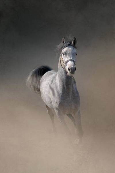 Domestic Animals Photograph - Arabian Horse Running Through Dust by Christiana Stawski