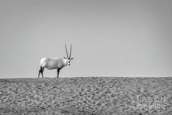 Wall Art - Photograph - Arabian Oryx by Delphimages Photo Creations