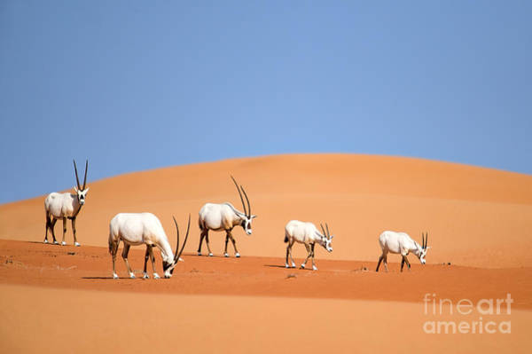 Reserve Wall Art - Photograph - Arabian Oryx Family by Nimit Virdi
