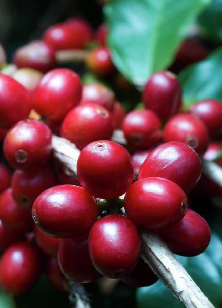 Wall Art - Photograph - Arabica Coffee Cherries On Branch by Nick Gunderson