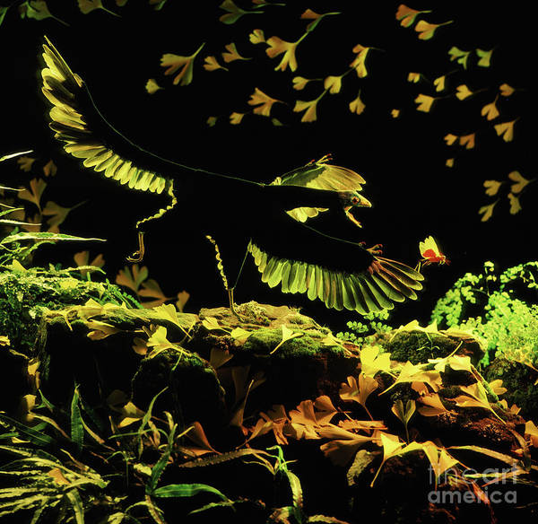 Photograph - Archaeopteryx Chasing A Locust by Warren Photographic