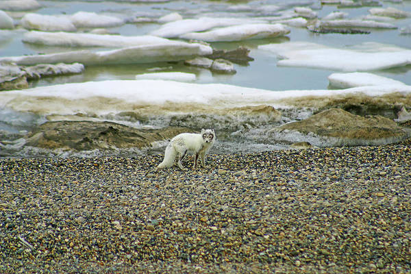 Photograph - Arctic Fox On The Rocks by Anthony Jones