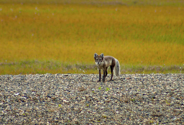 Photograph - Arctic Fox Pup by Anthony Jones